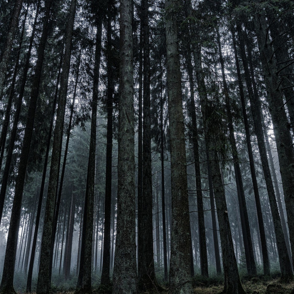 dark forest with high trees